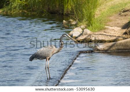 A Blue Heron on the Alabama gulf coast. - stock photo