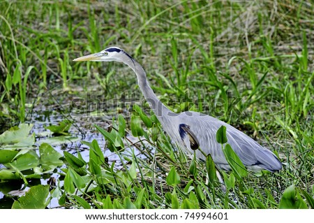 A blue heron stalking food in the everglades