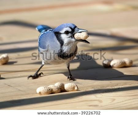 A Blue Jay eating a peanut on the patio deck. - stock photo