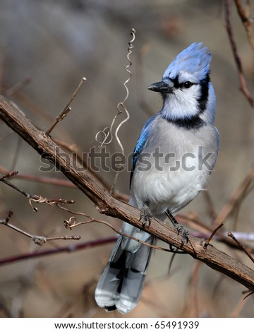 A blue jay perched on a tree branch. - stock photo