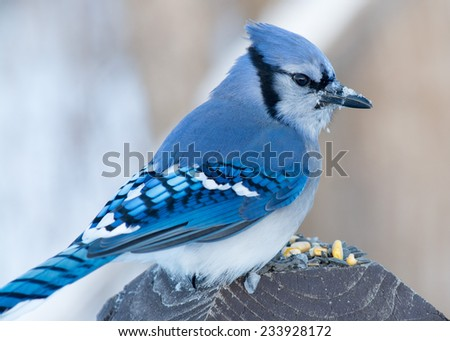 A Blue Jay perched on a wood post. - stock photo
