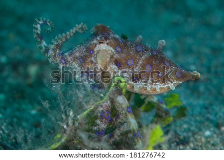 A Blue ring octopus (Hapalochlaena sp.) crawls across a sandy slope in Lembeh Strait, Indonesia. This small, rarely seen cephalopod is among the most venomous creatures on Earth. - stock photo