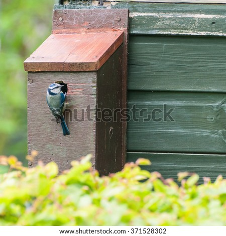 A blue tit inspects the entrance to a wooden bird box. - stock photo