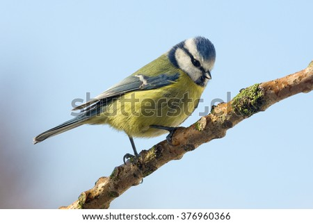 A Blue Tit (Parus caeruleus) in a garden in Yorkshire in the United Kingdom - stock photo