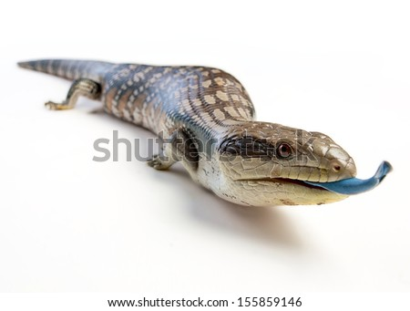 a blue tongue lizard poking its tongue out on a white background - stock photo
