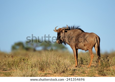 A blue wildebeest (Connochaetes taurinus) in natural environment, Kalahari desert, South Africa  - stock photo