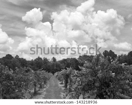 A blueberry field. - stock photo
