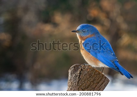 A Bluebird perched on a pine stump in the winter. - stock photo