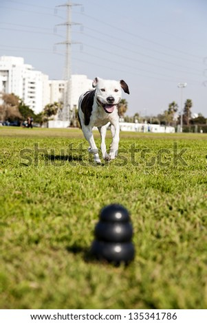 A blurry black dog chew toy at the front of the frame, with a Pit Bull joyfully running towards it from the distance. - stock photo