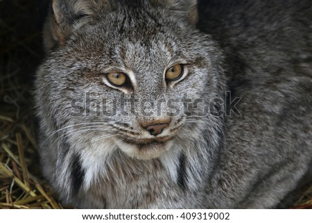 A Bobcat (Lynx rufus) looking up.  - stock photo