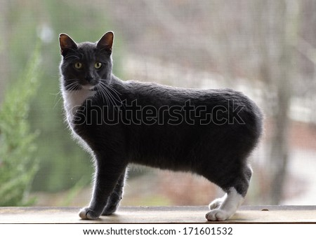 A Bobtail cat on a screened porch back lit by the sun. - stock photo