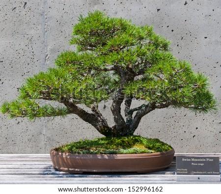 A bonsai miniature of a Swiss Mountain Pine  tree on display at the  North Carolina Arboretum. Asheville,NC. - stock photo