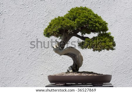 A bonsai miniature Pasture Juniper (Juniperus communis ssp. depressa) tree on display at the National Arboretum in Washington, DC. - stock photo