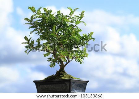 A bonsai tree in a pot  against blue sky - stock photo