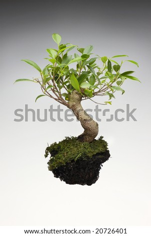 A bonsai tree with exposed dirt on white background - stock photo