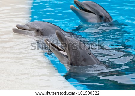 a bootle nose dolphins head in blue water - stock photo