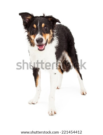 A Border Collie dog standing at a slight angle looks forward - stock photo