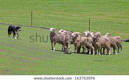 a border collie dog with sheep - stock photo