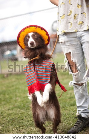 A border collie dressed up as mexican with a sombrero - stock photo