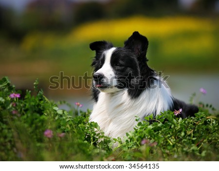 a Border Collie look at me - stock photo