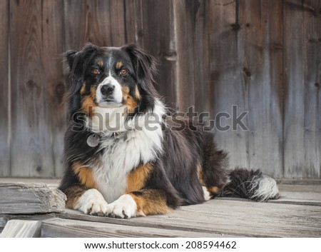 A border collie lying on a wooden step, waiting for her owner.