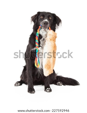 A Border Collie Mix Breed Dog holds a large furry toy in its mouth while sitting and looking forward. - stock photo
