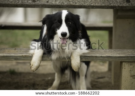 A Border Collie standing sticking his head out from a picnic table.