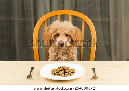 A bored and uninterested Poodle puppy with a plate of kibbles on the dining table  - stock photo