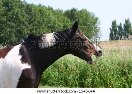 A bored horse yawns - stock photo