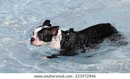 A Boston Terrier Dog playfully swims in a swimming pool  - stock photo