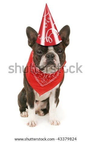 a boston terrier dressed up for a party - stock photo