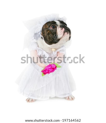 a boston terrier in a wedding dress isolated on a white background - stock photo