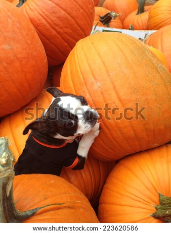 A Boston Terrier puppy playing in a pile of pumpkins