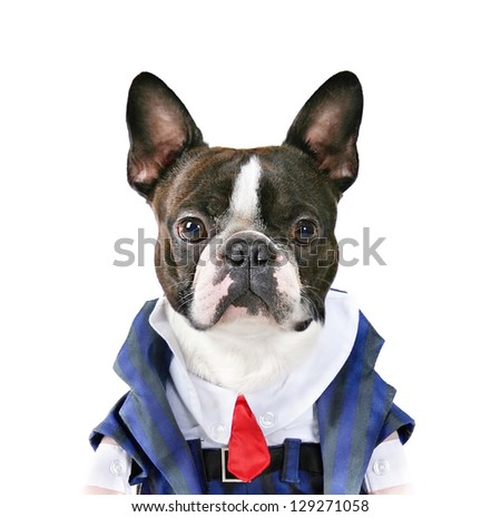 a boston terrier with a suit on