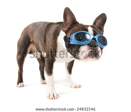 a boston terrier with blue goggles on - stock photo