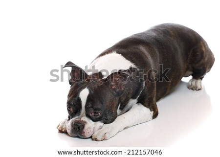 A Boston Terrier with his head down - stock photo