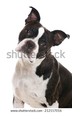 A Boston Terrier with his head tilted - stock photo