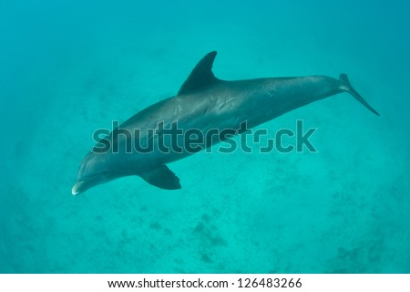 A Bottlenose dolphin (Tursiops truncatus) swims over a sand flat near the Turks & Caicos Islands in the Caribbean Sea.  This species uses echolocation to locate and capture prey.