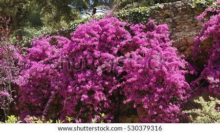 A Bougainvillea tree with flowers in a park