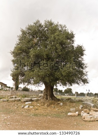 A  bountiful olive tree - stock photo