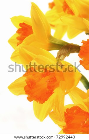 a bouquet daffodils on white background
