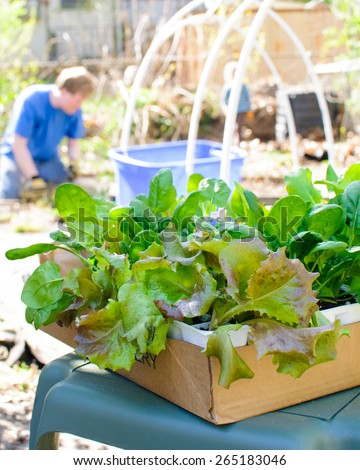 A box of young lettuce plants waits to be planted by a man in his backyard. - stock photo