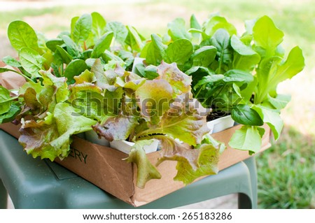 A box of young romain and Red Sail lettuce plants sit in a cardboard box as they wait to be planted. - stock photo