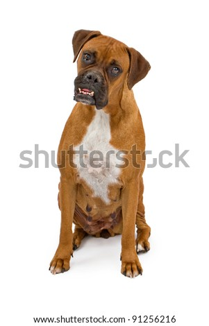 A boxer dog with an overbite looking at the camera and sitting on a white backdrop - stock photo