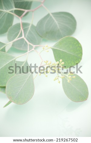 A branch from an Eucalyptus (Eucalyptus polyanthemos) Silver Dollar or Gum Tree. Shallow depth of field and waxy greenish blue leaves on green background. - stock photo