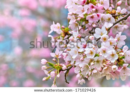 A branch of a cherry. Spring landscape.  - stock photo