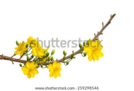 a branch of beauty Apricot blossom ( Hoa mai ) ,the flowers of traditional Vietnamese new year isolated on white background. - stock photo