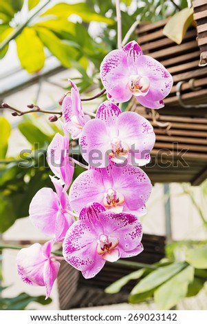 A branch of pink orchid orchid in the garden - stock photo