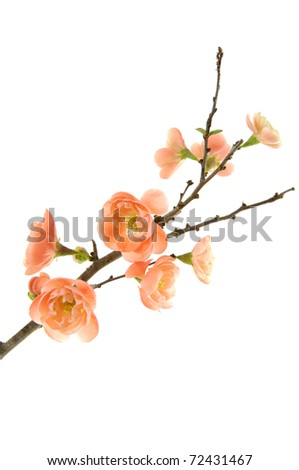 A branch of pink plum blossoms on white backgroud - stock photo