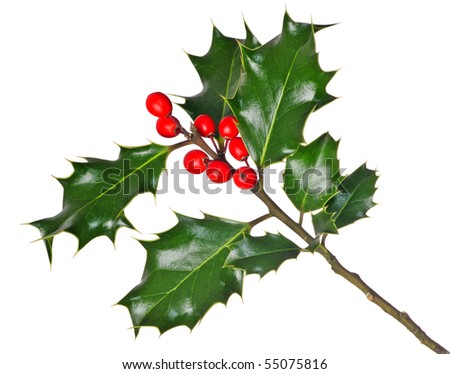 A branch of real holly, with red berries, isolated on a white background - stock photo
